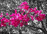 200px-Hot_pink_in_nature